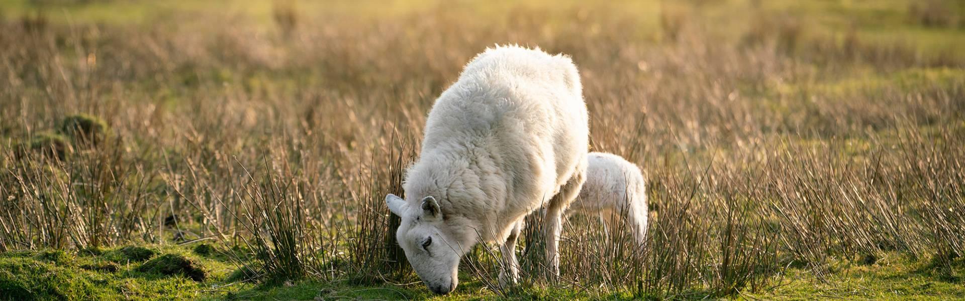 1,200 Breeding Mule Ewes